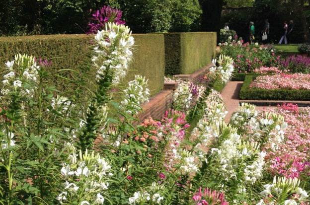 Cleome blooming at Filoli