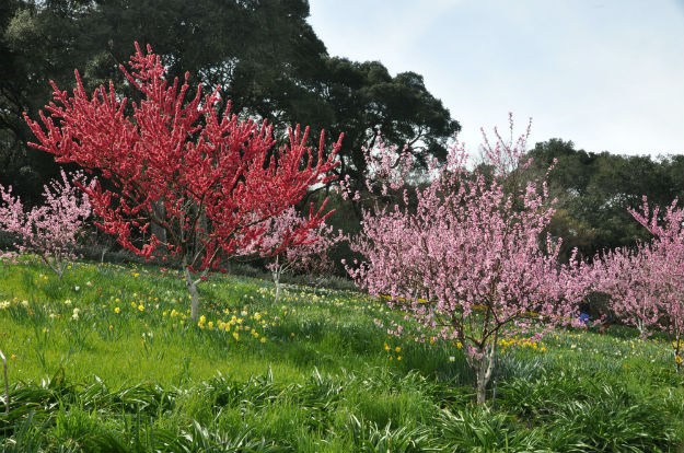 blooming plum trees at Filoli Center