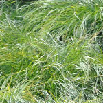 Gray Sedge