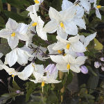 White Potato Vine
