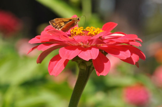 Zinnia and moth