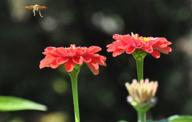 Zinnia with a bee in flight